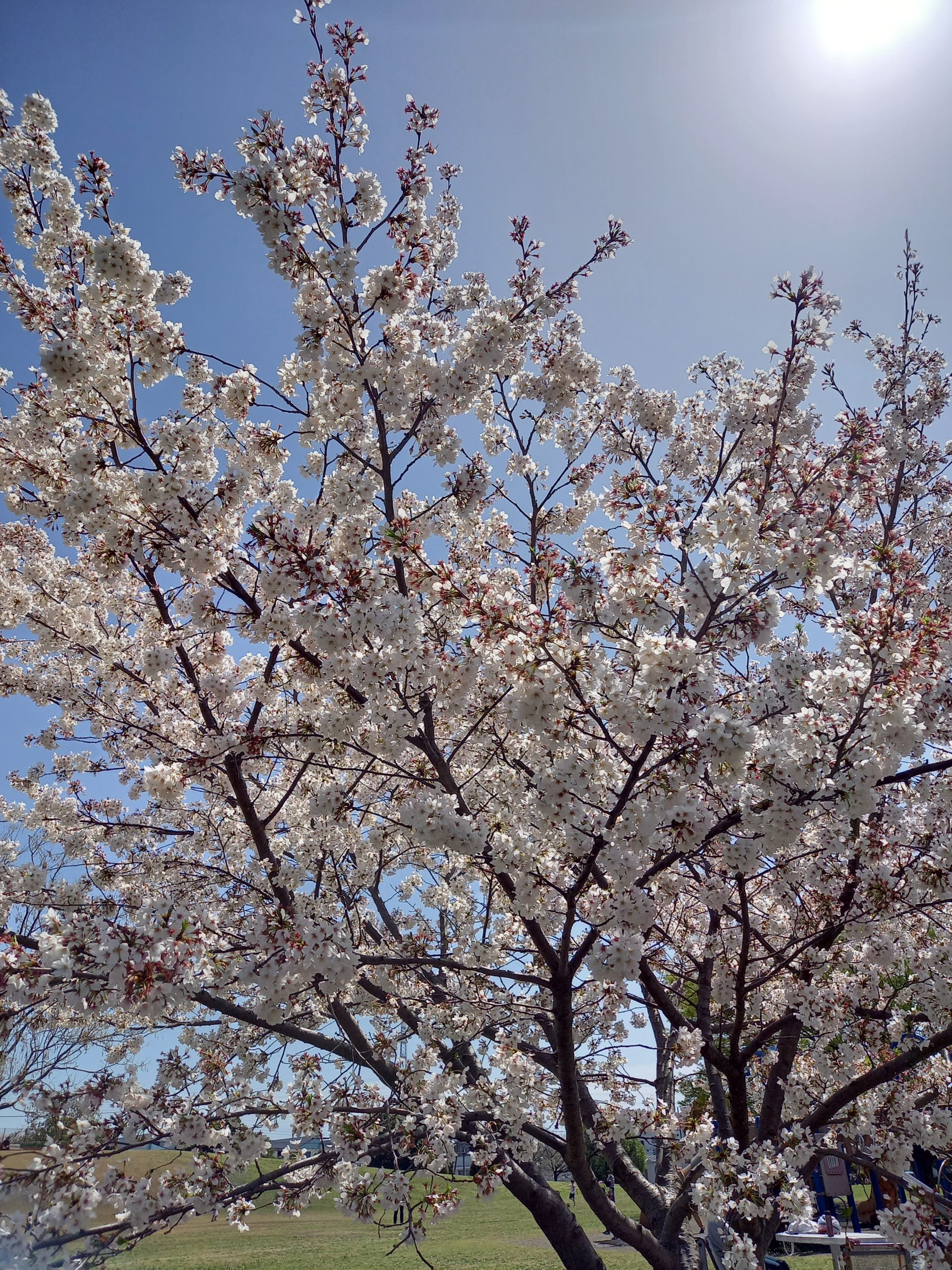 桜の季節、気持ちも新たに!